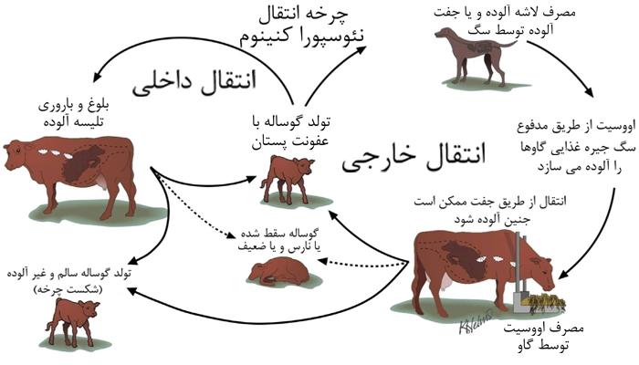 سقط نئوسپورایی در گاو ها