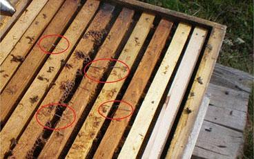 varostop علیه کنه واروا در زنبور عسل